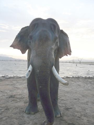 Male ♂ Asian elephant (Elephas maximus) Raja (wild) at Uda Walawe Nationalpark