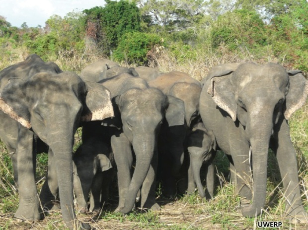 Kanthi (far left) and Kamala (far right) were the most inseparable pair of elephants we saw during the study. Members of their social group, the K unit, were often together whenever they were seen. Yet not all social units were so tightly knit, with individuals being scattered into small groups quite far apart.