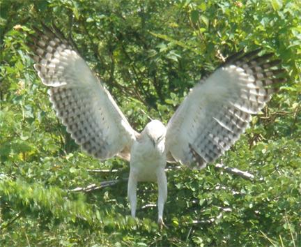 Hawk eagle