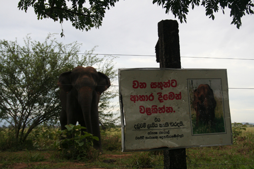 Formerly a common sight in Uda Walawe, an elephant lounges in front of a sign telling people not to feed the wildlife.