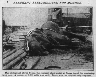 Topsy the circus elephant, electrocuted in 1903 by Thomas Edison's technicians in carrying out her death sentence while demonstrating the dangers of AC current.