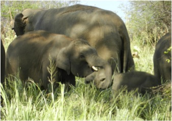 2011: [t458] play fighting with younger calf.