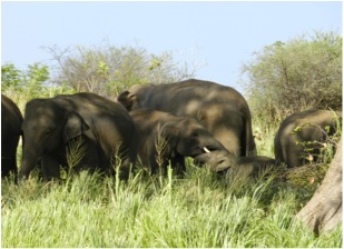 2011: Group taking mid-day shade as [t458] trunk wrestles with younger calf