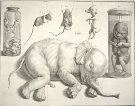 An illustration of the elephant fetus from the Swedish Museum of Natural History referred to by Linnaeus
