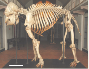 The E. maximus skeleton at the Natural History Museum of the University of Florence,