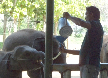 Pokunu Raja getting his his milk at the ETH.