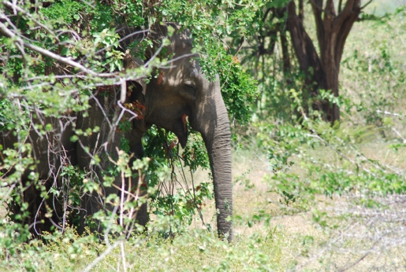Our targets are elephants resting under trees, like this partially-hidden bull.