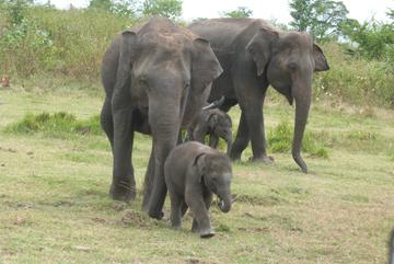 Baretail and Batik with their newborns.