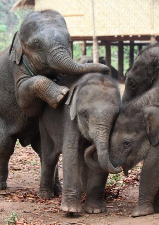 Elephant babies in myanmar