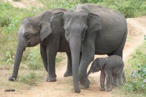 Female ♀ Asian elephant Indika at Uda Walawe Nationalpark
