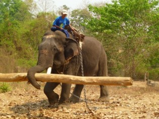 A timber elephant hauls a log in Myanmar. Image courtesy of Hannah Mumby.