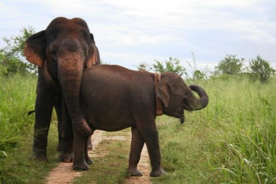 Ethimali alongside an adult bull in 2007.