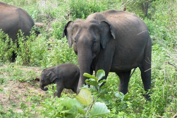 Athimali and her brand new calf in 2016
