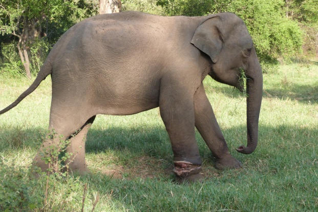 An adolescent at Minneriya National Park with a snare injury on his right foreleg.