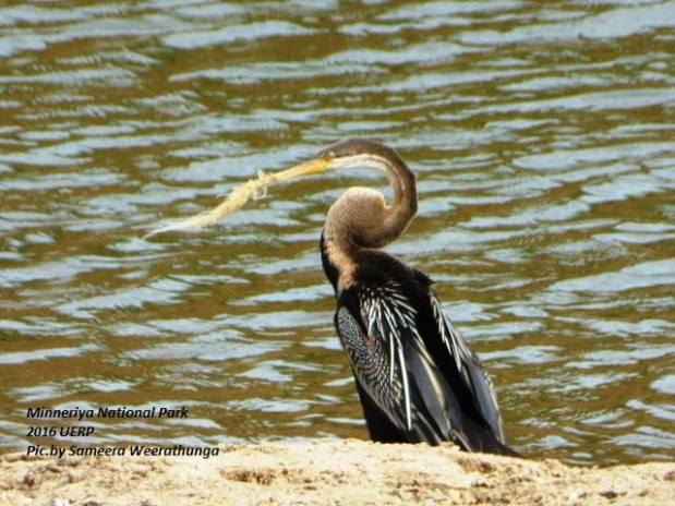This cormorant in Minneriya National Park has a piece of fishing net tangled around its beak. Clearly a widespread problem.