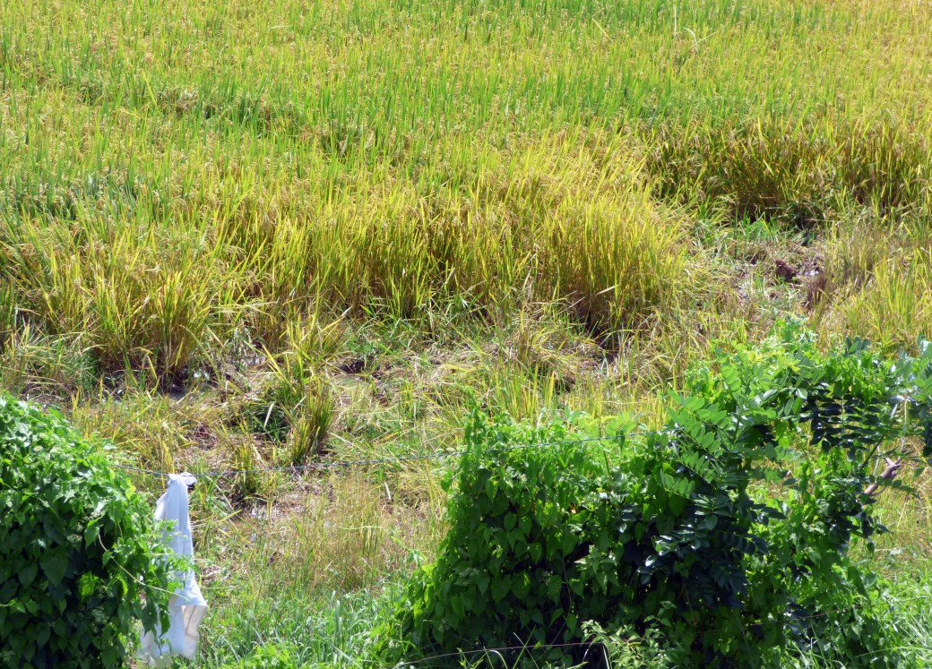 An Elephant damaged paddy field in Meegaswewa