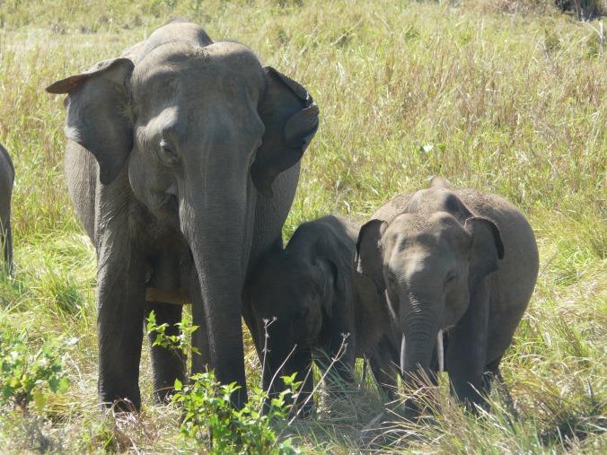 Female ♀ Asian elephant Naomi ([111]) at Uda Walawe Nationalpark