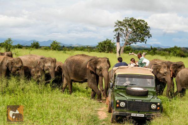 Asian elephant safari.